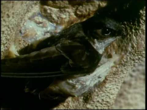 Planet Wild - Cave Swiftlets | Storyteller Media