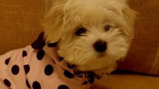 Порода собак. Мальтийская болонка.Красивая и нежная собаченка
