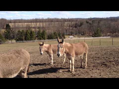 Donkeys Hee Haw featuring Storm