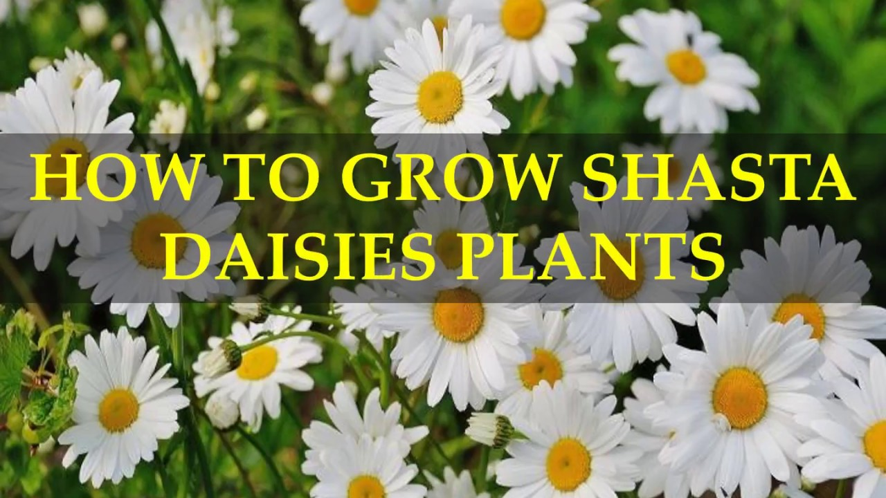 How To Grow Shasta Daisies Plants Youtube