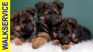 ЩЕНКИ НЕМЕЦКОЙ ОВЧАРКИ - как купить щенка без обмана, мифы и реальность?