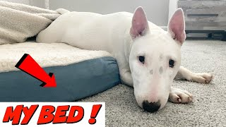 Funny Dog Playing in Bed: Miniature Bull Terrier