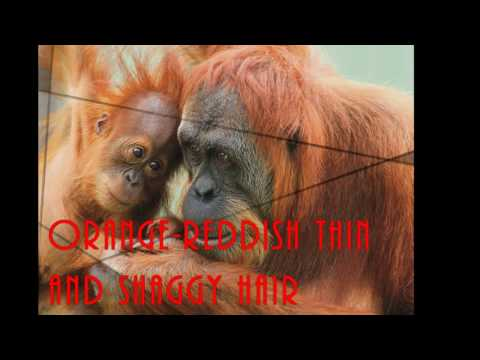 Sumatran Orangutan - Endagered Species Project