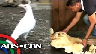 Rare white crow in Lanao