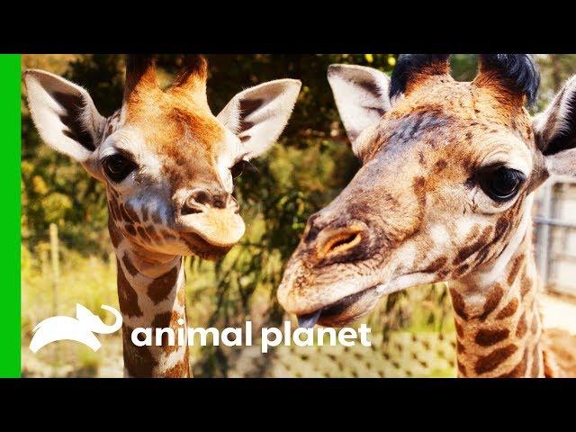Giraffe Calves Meet For The First Time! | The Zoo: San Diego