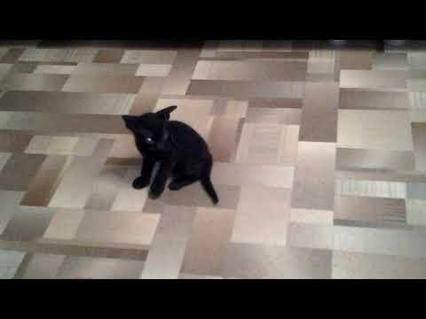 котята донского сфинкса браш один месяц
