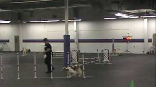 Ripley Welsh Springer Spaniel Open Jumpers Agility