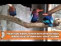 Terapi Suara Burung Tengkek Buto Untuk Masteran Burung Cucak Ijo Murai Batu Kacer Lovebird Klubburung(.mp3 .mp4) Mp3 - Mp4 Download