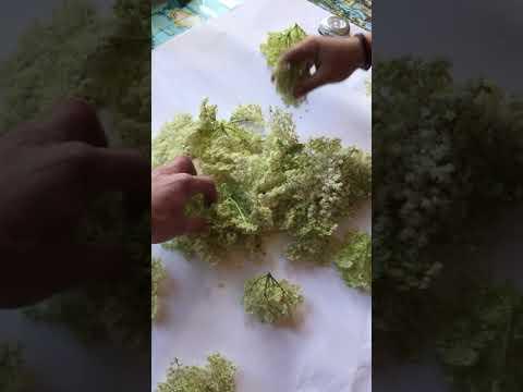 elderflower cordial recipte de bugging p4 youtube