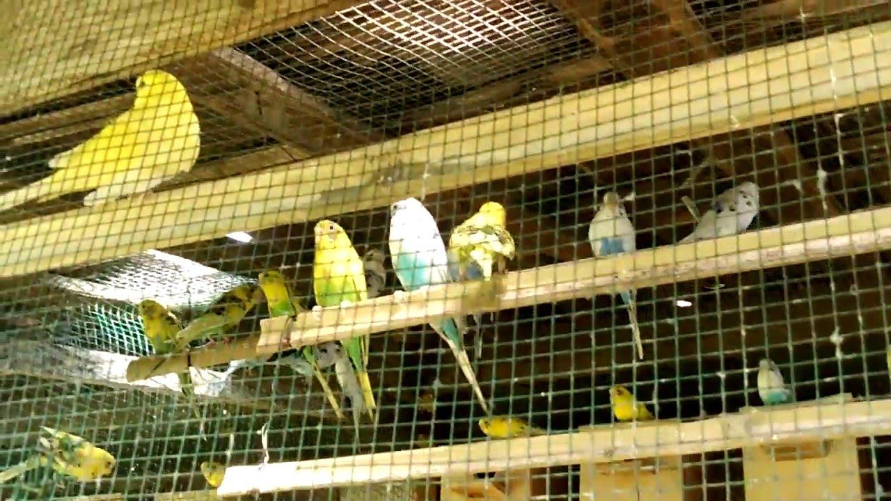 cara membuat kandang penangkaran burung parkit 02 - YouTube