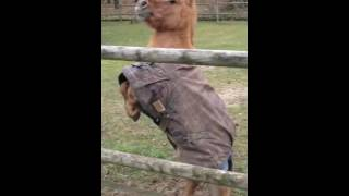 Гарцующий шетлендский пони - крошка с душой большой лошади(, 2016-08-02T05:36:10.000Z)