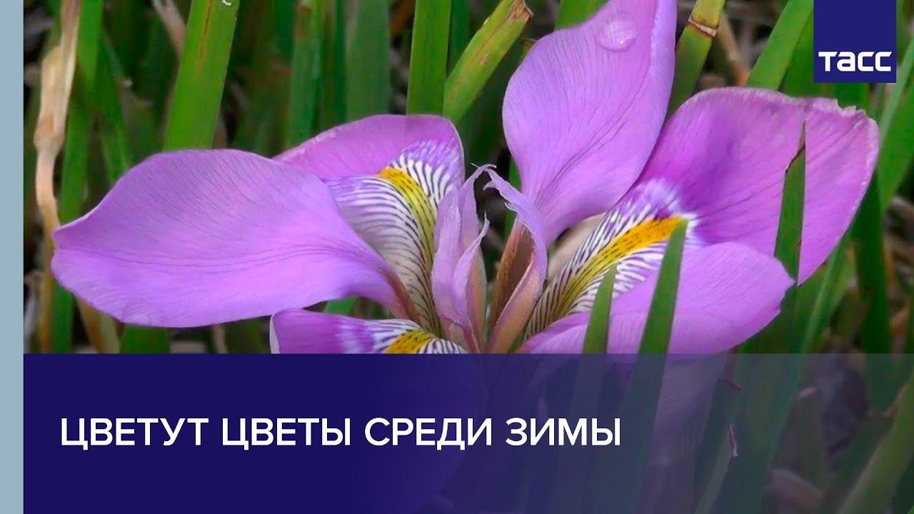 В Крыму цветут цветы среди зимы