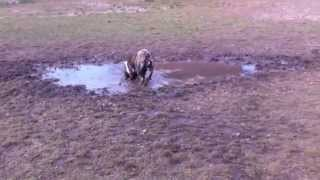 Muddy Bulldog