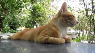 悠閒曬太陽的黃貓霸主 ( ゚∀゚ )
