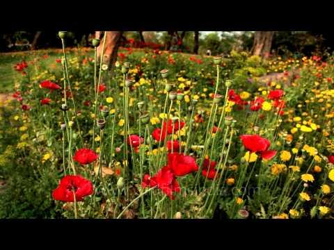 Red Poppy flowers in bloom at Nehru Park, Delhi