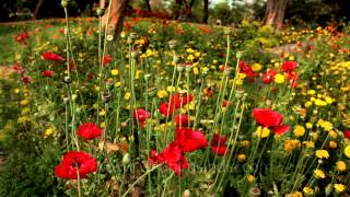 Red Poppy flowers in bloom at Nehru Park, Delhi