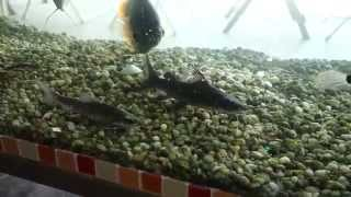 Drinking with the FISHES. Aquarium CAFE in Saigon Vietnam 2014