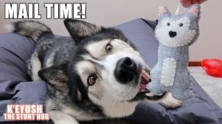 husky-overwhelmed-by-new-toys-more-birthday-mail-time