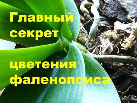✅ Самый главный секрет цветения орхидеи!