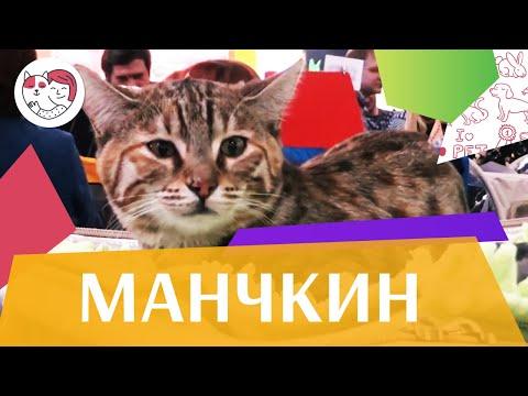 Вопрос: Сколько зубов у коротконогой кошки породы Минскин?