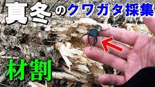 河川敷に落ちている朽ち木で、クワガタの材割採集をしました^^10分...
