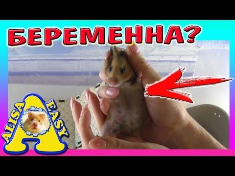 Купили БЕРЕМЕННУЮ Хомячиху / КАК НАЗВАТЬ ХОМЯКА? / ЧТО ДЕЛАТЬ ЕСЛИ БЕРЕМЕННА? / Alisa Easy Pets