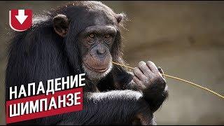 ВКитае шимпанзе сбежал извольера инабросился насотрудника зоопарка