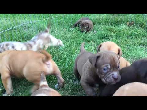 North American Mastiff Past Litter 5 Weeks Old