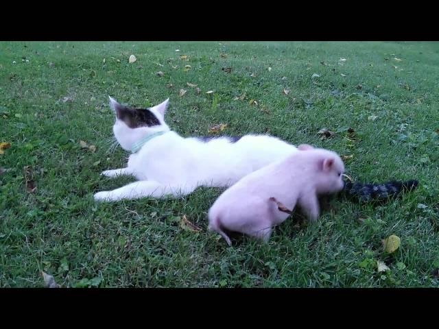 Zepplin Cat meets month old pig. CUTE CAT VIDEO