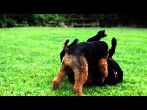 Welsh Terrier vs. Black Labrador