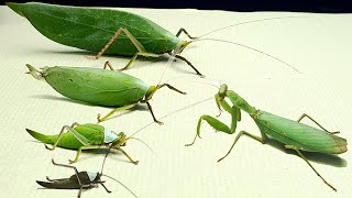 Can the MANTIS eat the LARGEST KATYDID - Insect Stories