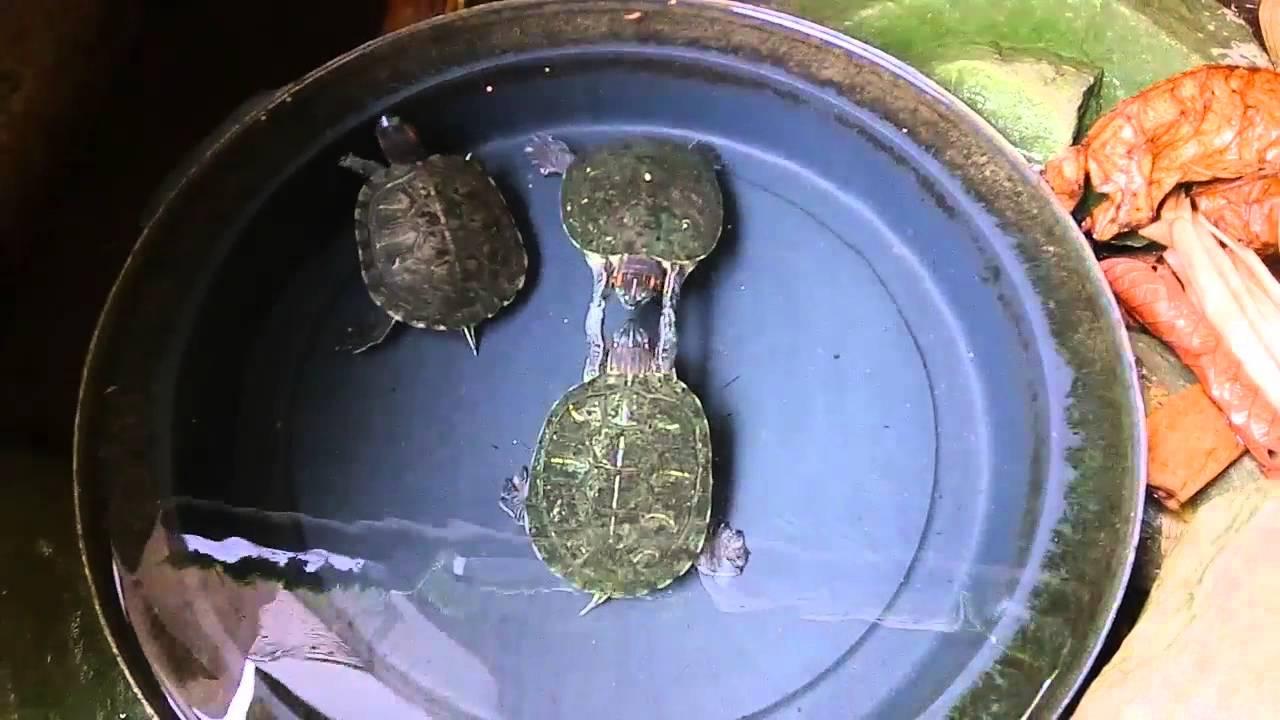 Red Eared Slider Turtles Behavior YouTube