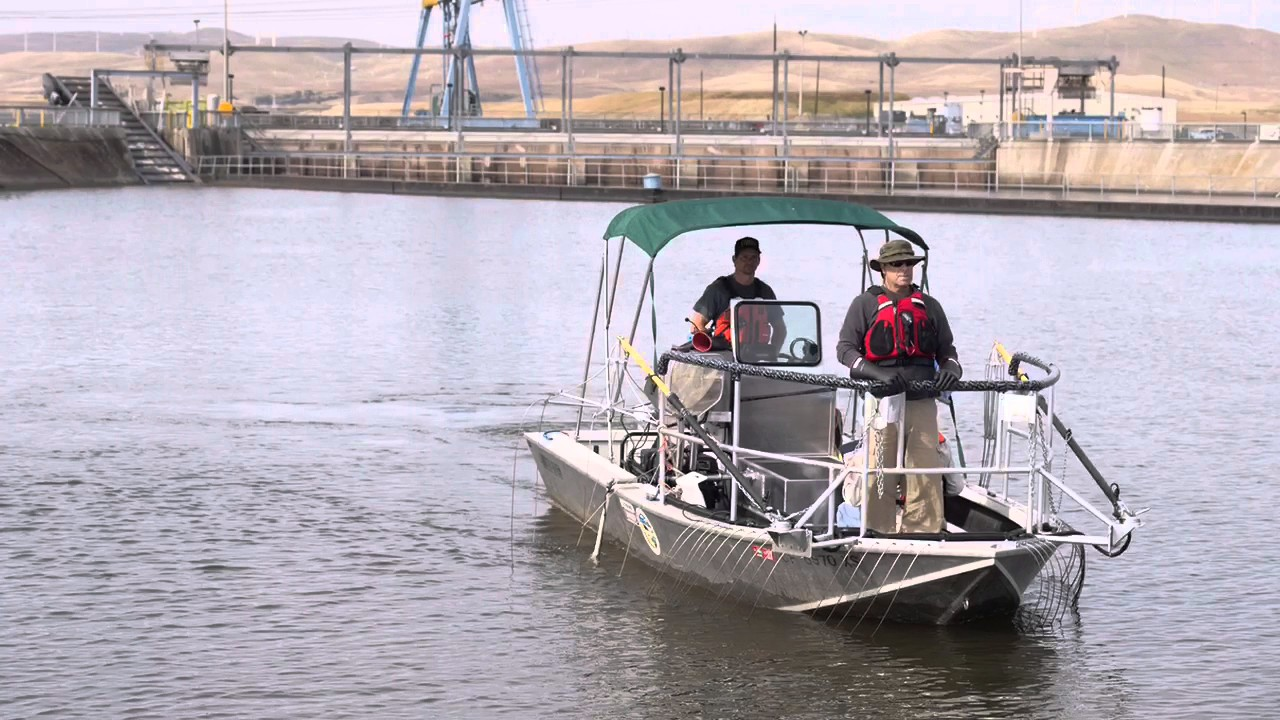 Electrofishing for predators in the delta youtube for Sacbee fishing report