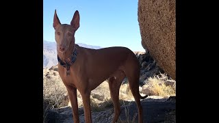 Egyptian Pharaoh Hound loves to play with his Kong toy!