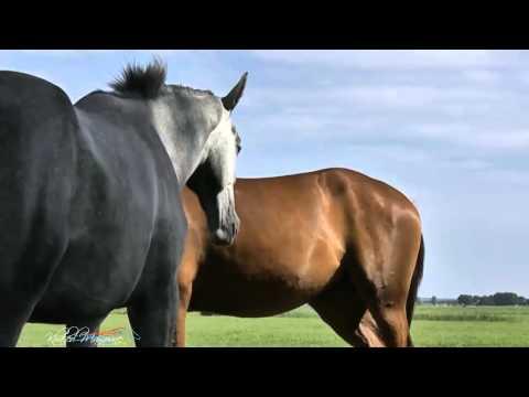 the algerian barb horse