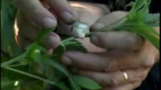 Часть 7.Высший пилотаж выращивания марихуаны / Ultimate Grow
