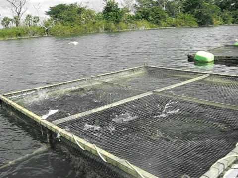 Criadero de peces en el r o candelaria youtube for Criaderos de pescados colombia