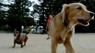 Golden Retriever Puppy Meets Dachshunds At Dog Park