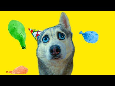ТАКОГО ОТ ДНЯ РОЖДЕНИЯ Я НЕ ОЖИДАЛ!! (Хаски Бандит) Говорящая собака