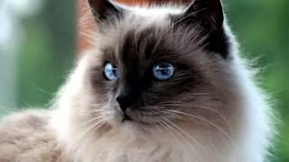 Порода кошек. Священная бирманская кошка. Происхождение.