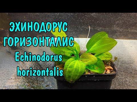 ЭХИНОДОРУС ГОРИЗОНТАЛИС + ОТВЕТ НА ЗАГАДКУ С КАМНЯМИ. Echinodorus horizontalis