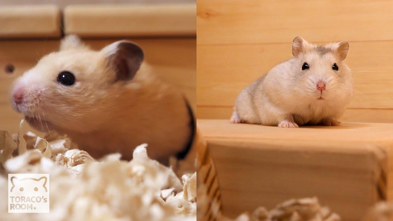 新人さんのお家をかっこいい木製ハウスにしたのです。【ハムスター】/A new wooden house for new hamsters.