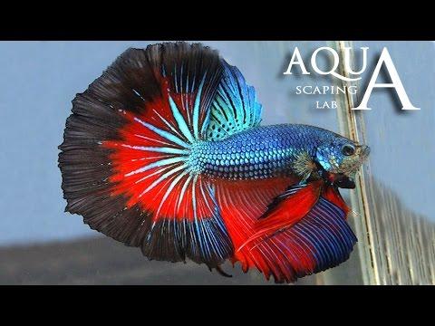 Aquascaping Lab - Betta Splendens, Siamese Fighting fish description / pesce combattente descrizione