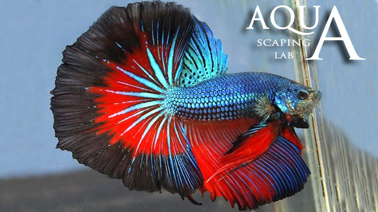 Aquascaping Lab - Betta Splendens, Siamese Fighting fish description ...