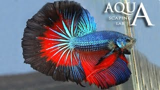 Aquascaping Lab - Betta Splendens, Siamese Fighting fish description / pesce combattente descrizione