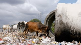 Indian cows looking for edible items at a roadside garbage dump - unhealthy food
