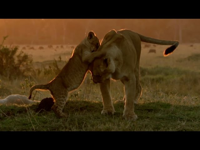 Hungry lion cubs – Animal Super Parents: Episode 2 Preview – BBC One