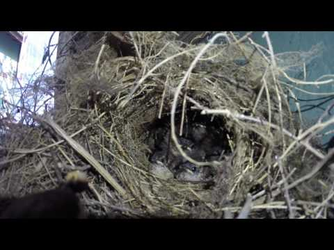 Watch who gets left out as a Carolina wren feeds five babies
