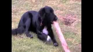 Free Top Dog Training Tip #5 - Stop Your Dog Chewing – Learn The Redirect