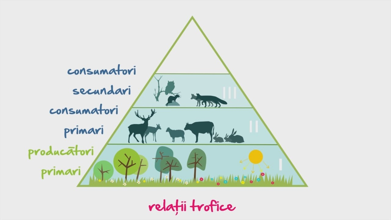 Biologie: Retele si piramide trofice   WinSchool - YouTube
